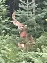big-deer