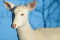 albino-1